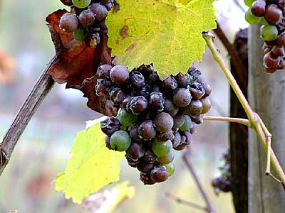 2008-11-02-botrytis.jpg
