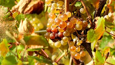 2009-10-21-riesling-top.jpg