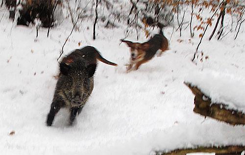 2010-12-26-wildschwein.jpg