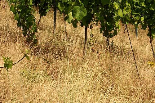 2014-06-21 verdorrtes Gras