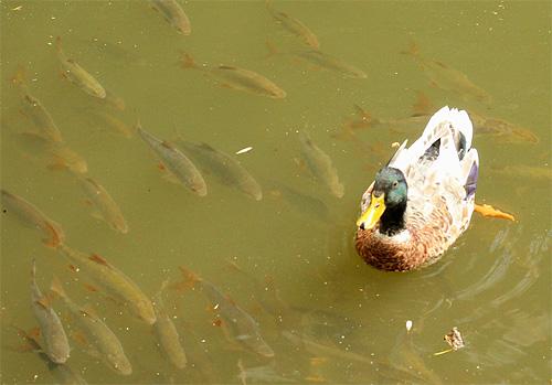 2014-06-06 Ente Fisch