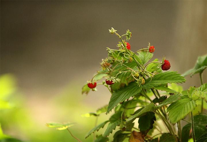 2015-06-02 Erdbeeren