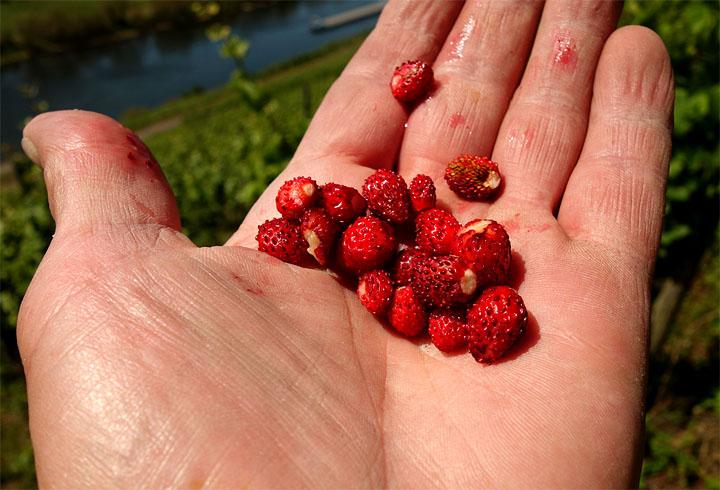 2017-06-13 Weinbergserdbeeren