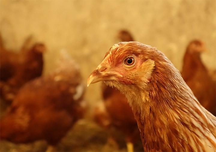 2017-11-22 Biohühner von Uli